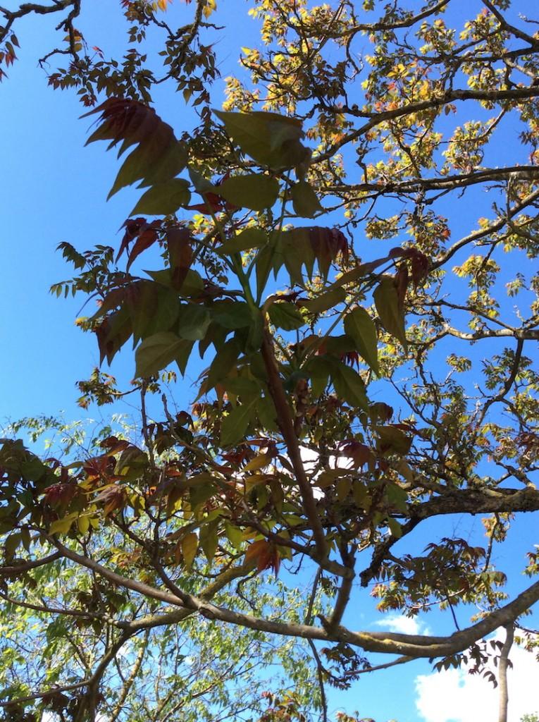 Ailanto 15 foglie
